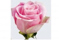 Роза Фрутетто от 150 руб.