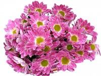 кустовая хризантема Тошка 180 руб.