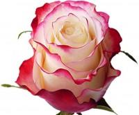 Роза svitness от 150 руб.