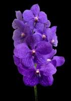 орхидея ВАНДА ветка от 3200 р.