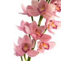 c орхидея цимбидиум-от 2000 р.