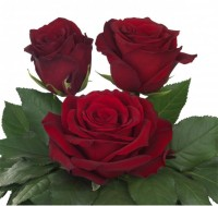 Роза explorer 150-180 р/шт