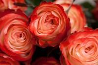 Роза Кахала от 180 руб.