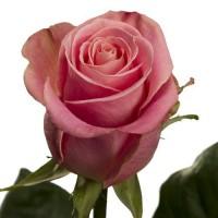 Роза Hermosa от 150 руб.