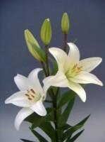 лилия азиатка-от 180 р.