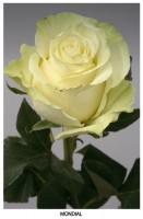 Роза Мондиаль от 180 руб.