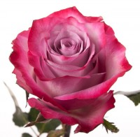 роза Дип Пурпле от 150 руб. до 180 руб.